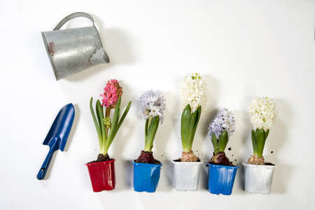 Multicolored hyacinths in plastic pots for planting lie on a wooden table