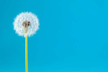 the dandelion on a blue background. Lettering space Standard-Bild - 124652658
