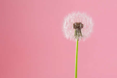 the dandelion on a pink background. Lettering space Standard-Bild - 124652670