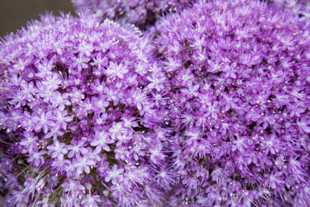 Closeup of the florets of the flowers belonging to an Allium hybrid called Globemaster, an ornamental onion.