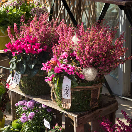 Blumen sind in der Nähe eines Blumenladens in einer Stadtstraße. kultivierte rosafarbene Calluna vulgaris oder gemeinsame Heideblüten, die im Blumenladen im Freien bei Sonnenlicht stehen Standard-Bild
