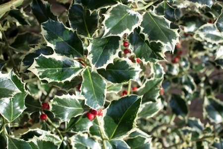 Close up image of the leaves and berries of a holly bush. Perfect for background use