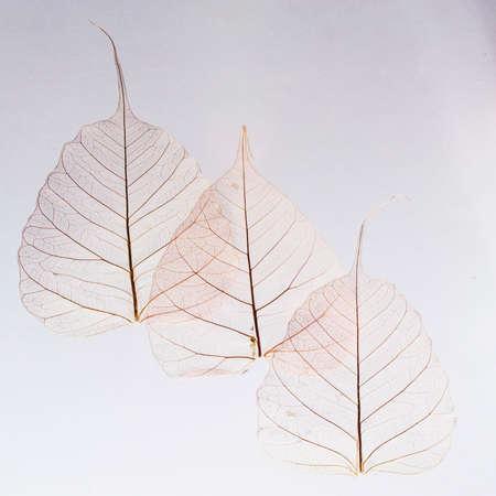 transparent leaf skeletons on white background. Card. Copyspace. Design