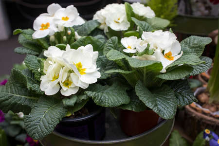 Multi-colored white primrose in pots for sale at a farmers market