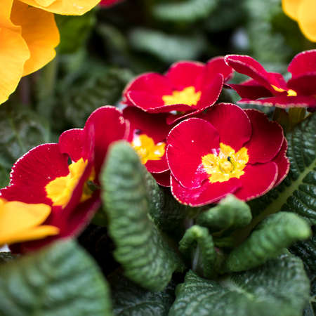 Multi-colored primrose in pots for sale at a farmers market. Square frame format
