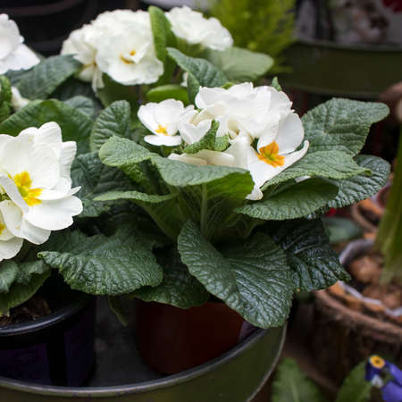 Multi-colored white primrose in pots for sale at a farmers market. Square frame format