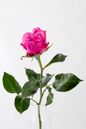 One pink rose on a white background. Copy space Archivio Fotografico