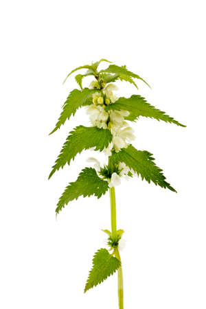 Nettle isolated on a white background. Save work path. Juicy nettle blooms beautifully. Lamium album, commonly called white nettle or white dead-nettle, deadnettle isolated.
