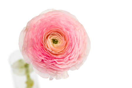pink persian buttercup isolated on pale gray. Copy space