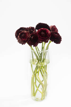 A bouquet of dark brown burgundy ranunculus are in a tall glass vase on a white background. Copy space