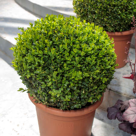Ball-trimmed boxwood in large clay pots as a garden decoration. Summer time Standard-Bild