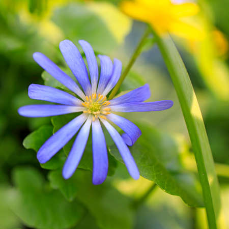 Anemonoides blanda, syn. Anemone blanda, the Balkan anemone, Grecian windflower, or winter windflower, is a species of flowering plant in the family Ranunculaceae. Stock Photo