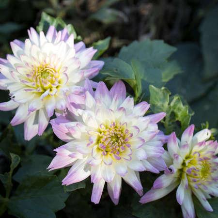 Three white and lilac dahlias in the autumn garden Standard-Bild