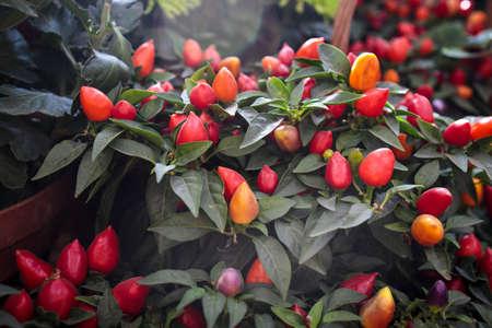 Sweet and chili pepper capsicum decorate the windowsill Standard-Bild