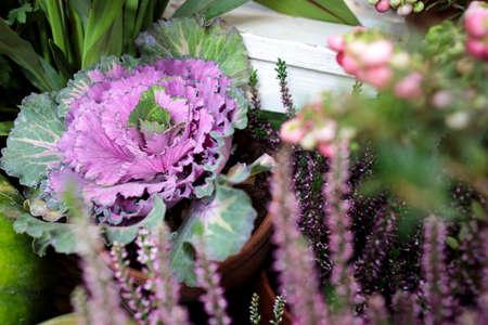 Ornamental purple brassica cabbage decorate the farm stall