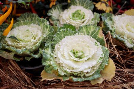Ornamental white brassica cabbage decorate the farm stall
