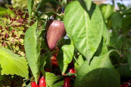 purple pepper grows on the pepper bush