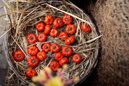 Solanum aethiopicum in a wicker basket decorate the windowsill