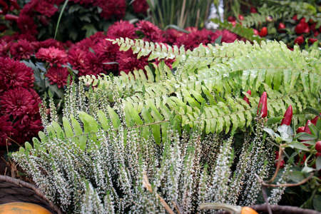 Fern leaves and burgundy chrysanthemum adorn the counter at the local market Фото со стока