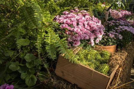 Green pumpkins and purple chrysanthemums decorate the garden before Halloween