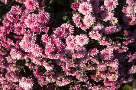 Backdrop of purple chrysanthemums growing outside in the park