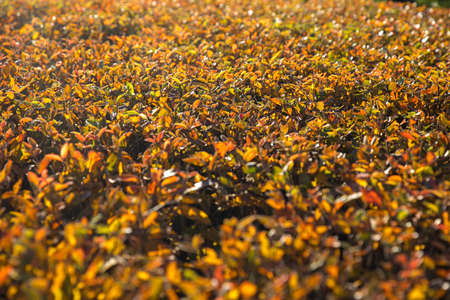 Red-yellow trimmed barberry bushes in autumn in good weather. The sun. Selective Sharpness