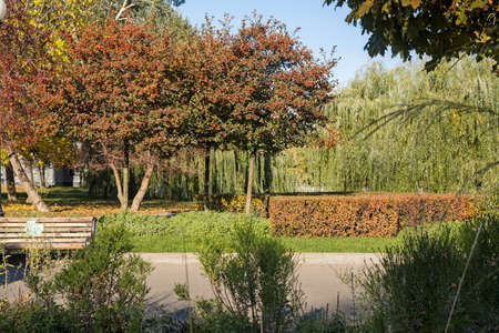 Round Japanese apple trees, red and yellow trimmed barberry bushes, weeping willow, lawn in the fall in good weather. The sun. Selective Sharpness Фото со стока