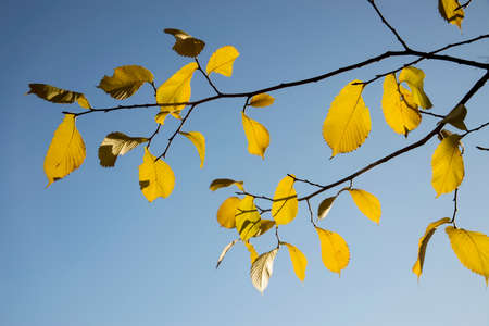 Yellow leaves of elm tree on a background of blue sky in autumn Фото со стока