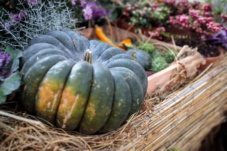 Two giant pumpkins at the traditional autumn exhibition in the Aptekarsky Ogorod (branch of the Moscow State University Botanical Garden).