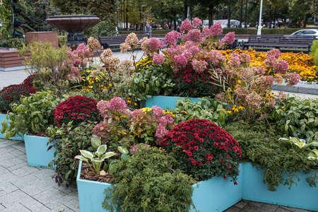 Boxwood, chrysanthemums, geraniums, chlorophytum, chrysanthemums as decoration of a garden lawn or park. Фото со стока