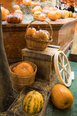 Decorative pumpkins, Halloween decor in Moscow city. Harvest, garden decoration in GUM, Moscow city. Shop ornament with gourd, orange pumpkin. Halloween pumpkin. Pumpkin decor. Many halloween pumpkins