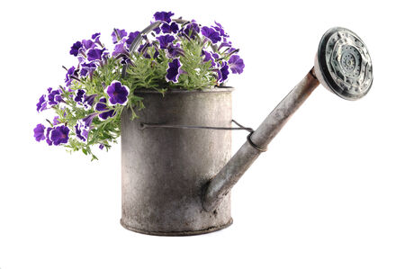 Zinc watering can with petunias isolated on white photo