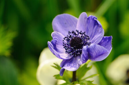 Blue anemone closeup against green background photo