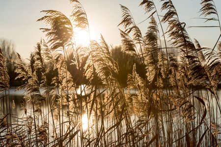 magic hour: Reeds in the magic hour with the sun in the background