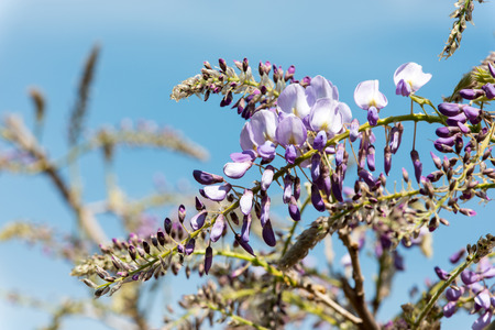 Blooming wisteria against a clear blue sky Stock Photo