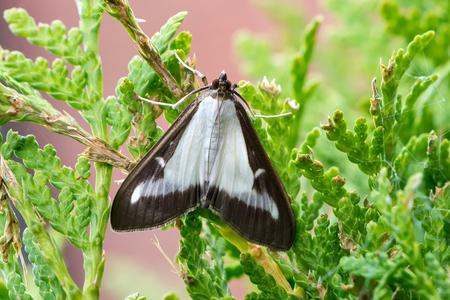 Adult box tree moth or Cydalima perspectalis