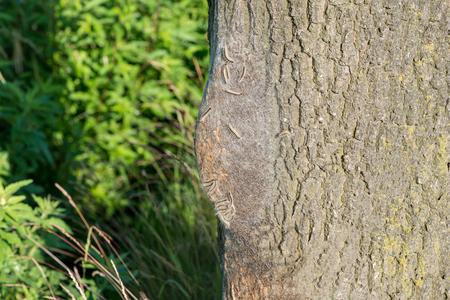 Oak processionary caterpillars communal nest