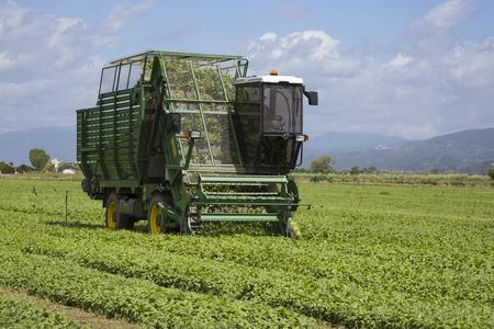 Basil harvesting in open field cultivation