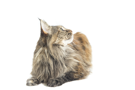 maine coon female with careful look Banque d'images - 116596596