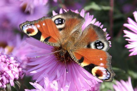 European peacock caterpillar photo