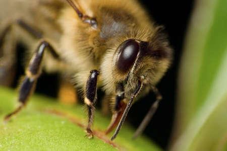 Bee extremely macro Stock Photo - 4864778