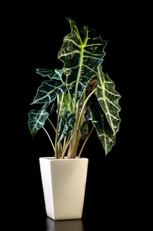 polly: Flower in pot on a black background, Alocasia Polly