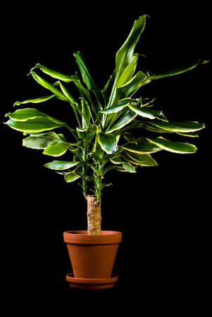 polly: Flower in pot on a black background, Dracaena