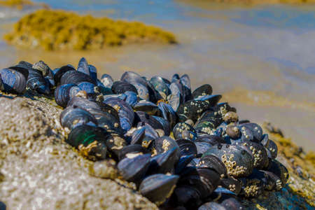 Mussels on Medlands Bay Beach on the Abel Tasman Coast in New Zealand