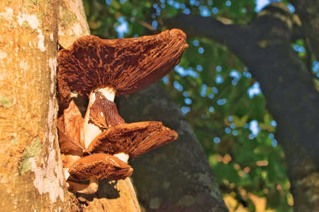 Brown mushrooms growing on the bark of a tree at the park