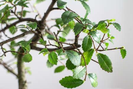 zvýšil: bonsai tree