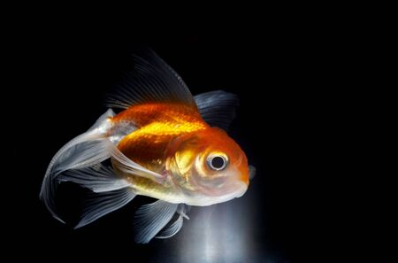 view of big goldfish coming to the light through black environment photo
