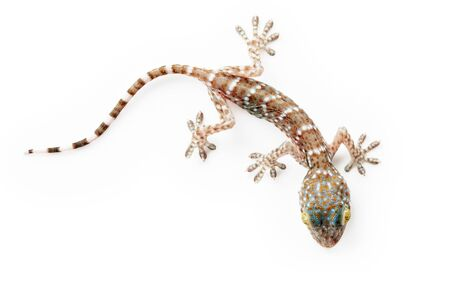 gecko: close up view of nice colorful lizard  on white back