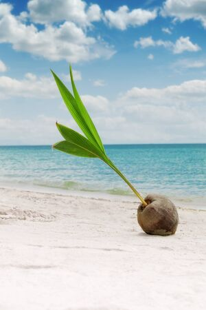 plage: close up view of big coconut  sprout on the beach  Stock Photo