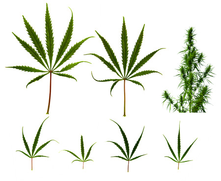 opiate: Close up collection of cannabis leafs on white back